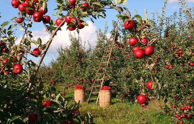 sad s jablky