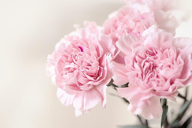 růžové karafiáty