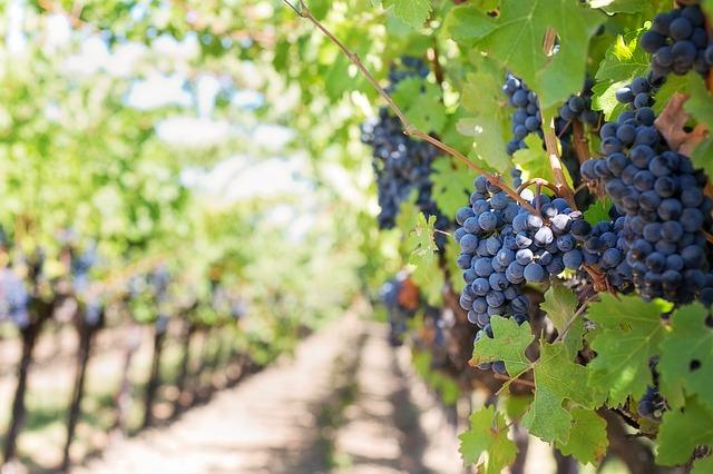 fialové hrozny vinice